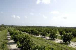 Florida Citrus Crop Estimate Continues To Slide