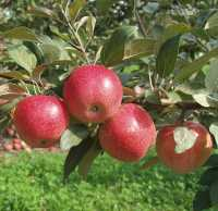 Online Exclusive: A Sampling Of New Apple Varieties