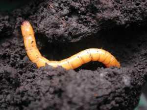 How to Manage Three Key Potato Pests