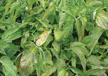 Pest Of The Month: Tomato Chlorosis Virus