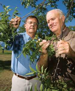 Improving Organic Pecan Yields