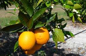 Florida Citrus Crop Estimate Clipped Again