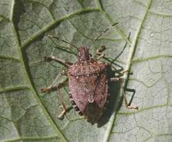 Survey Hopes To Assess Impact Of Brown Marmorated Stink Bug