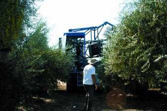 Mechanizing Olive Harvesting