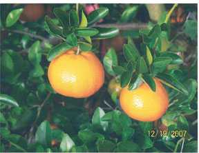 Open Access For Citrus Growth