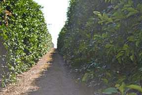 Florida Citrus Crop Forecast Back On Track