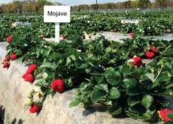 Hot New Strawberry Varieties