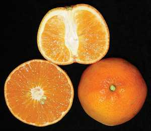 Citrus Variety Pipeline Full Of Potential
