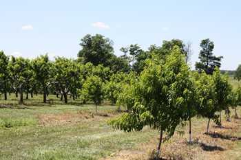 'Ladderless' Peach, Nectarine Orchards Explored