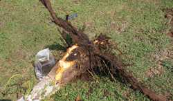 How To Protect Young Walnut Trees