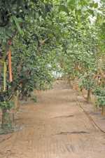 Citrus Nursery Source: Wood To Chop