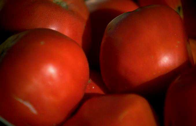 Researchers Breeding Organic Tomato Varieties Receive $2 Million Federal Grant