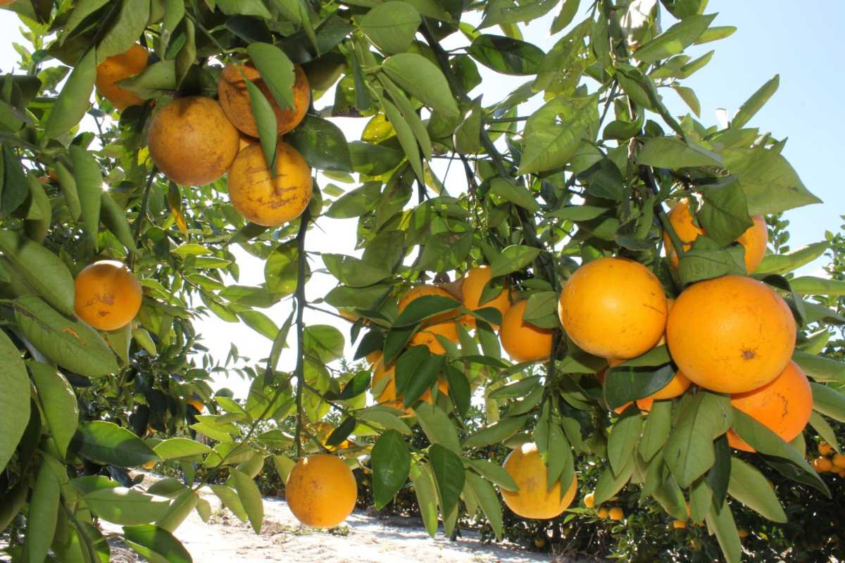 Florida's Citrus Crop Forecast Takes An Early Tumble