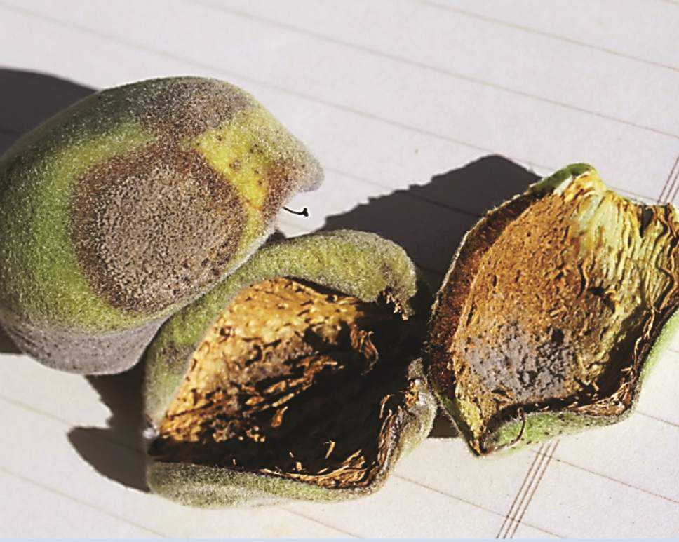 Almond Hull Rot Management Tips