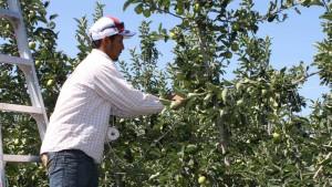 Washington Tree Fruit Grower Hit With $2.25 Million Fine After ICE Audit