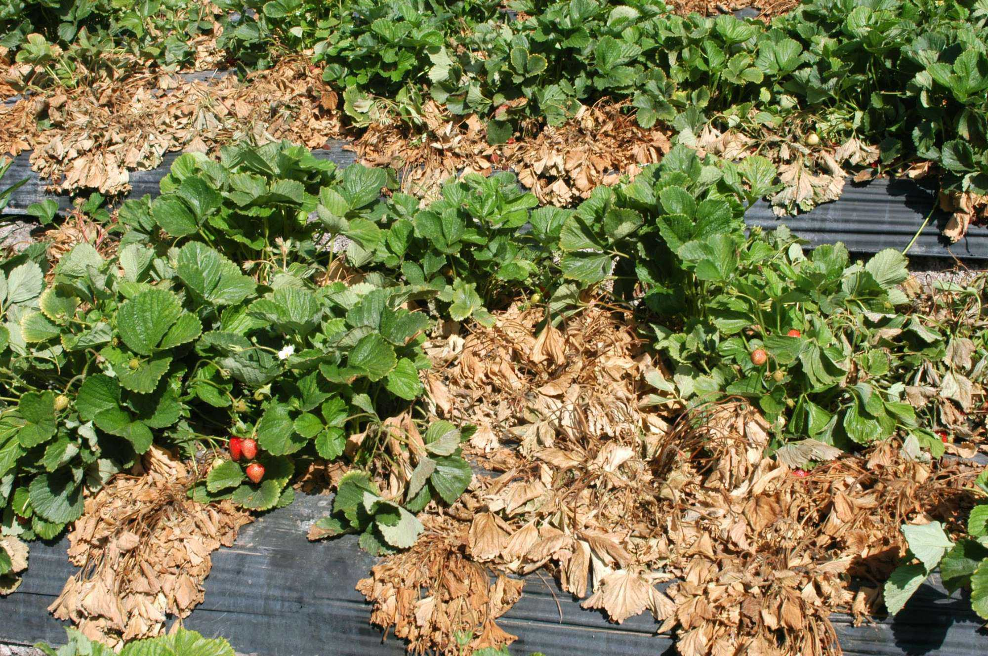 View From The West: Fumigant Restrictions Challenge Growers
