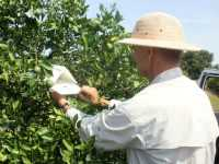 Monitoring Citrus Leafminers
