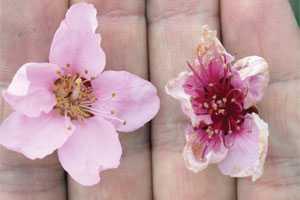 Peach Freeze Damaged Flower