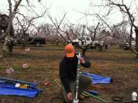 Improving Irrigation In Peaches