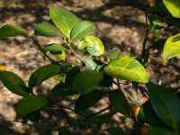 Citrus Greening Leaves