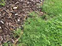Bermuda Grass in Blueberry field