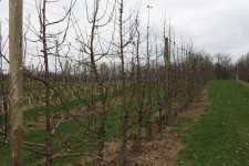 High-Density Orchard