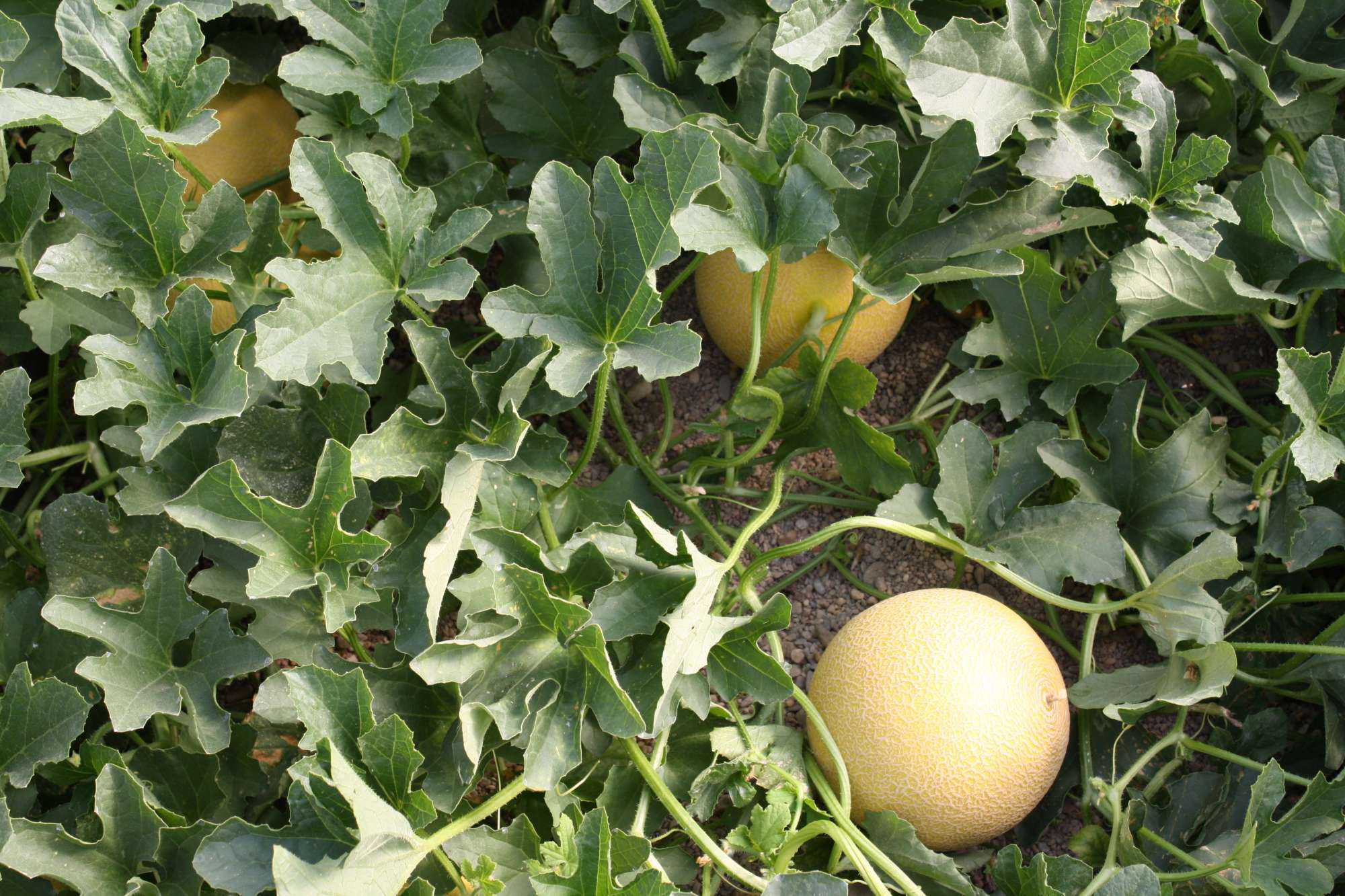 2016 Production Recommendations For Melons Available