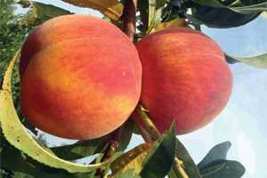 Some South Carolina Peach Growers Report Small, Later Crop