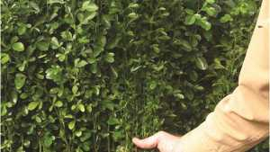 Citrus Rootstock Selection On The Grow