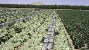 Gene Discovery May Yield Lettuce That Will Sprout In Hot Weather