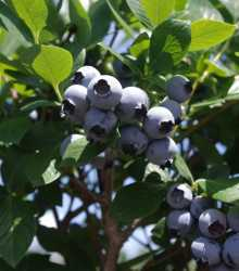 Meadowlark blueberry