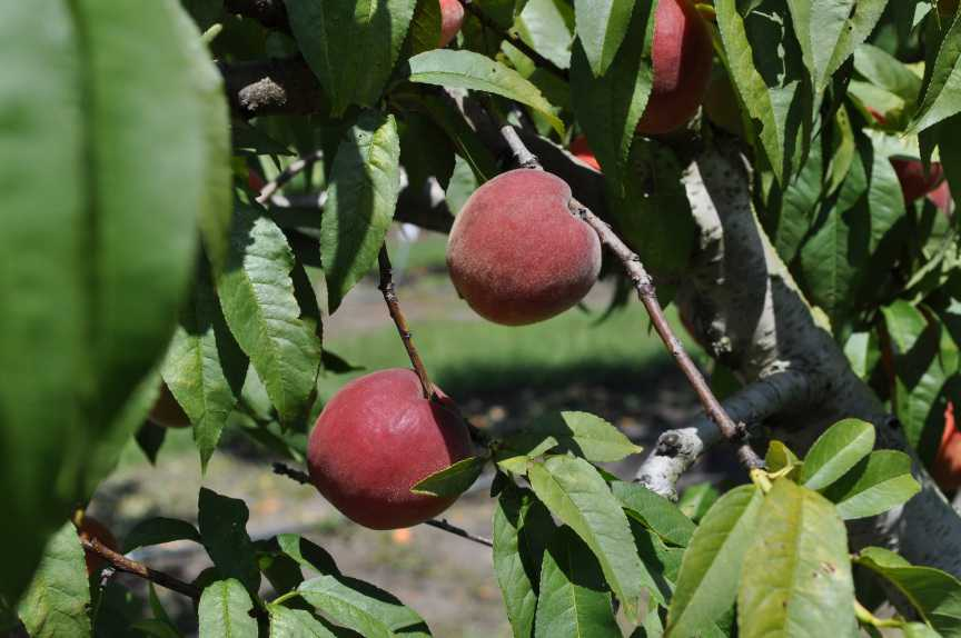 Florida Peaches Scoring Points with Consumers on the Go
