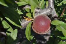 Flordabest peach