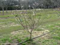Florida peach tree