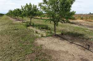 Almond Orchard Herbicide Trial