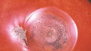 tomato disease; anthracnose