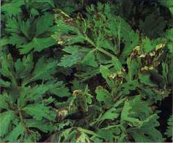 Bacterial Blight of Celery