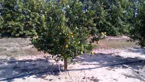 Citrus Fruit Quality Variations Affecting Planting Decisions