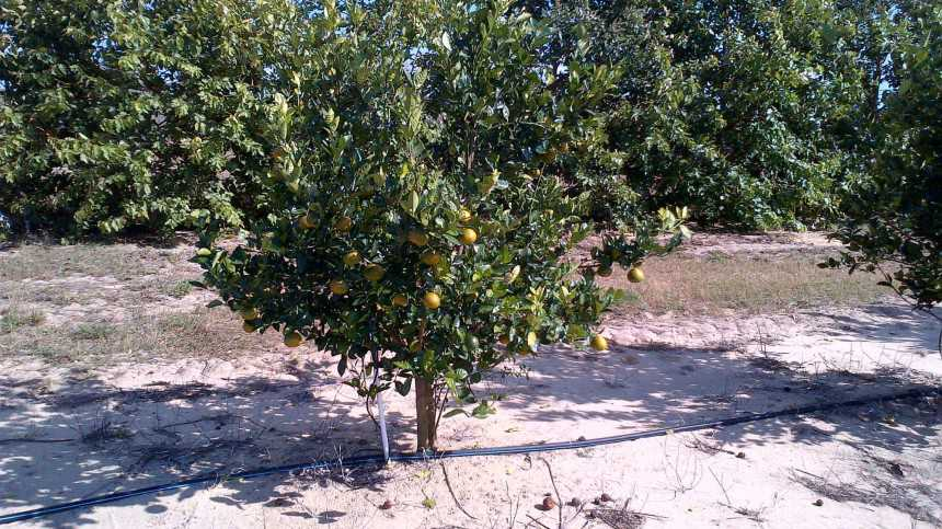 Citrus Fruit Quality Variations Affecting Planting Decisions