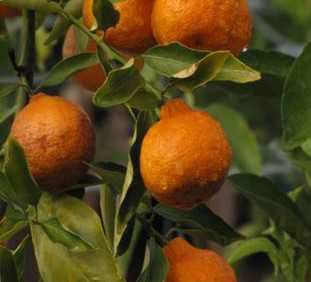 Rapid Evaluation Concept For Citrus Growing Up Fast