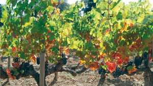 Grapevine Red Blotch Disease Cause ID'd