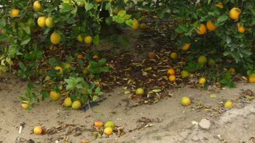 Florida Citrus Forecast Takes Another Fall