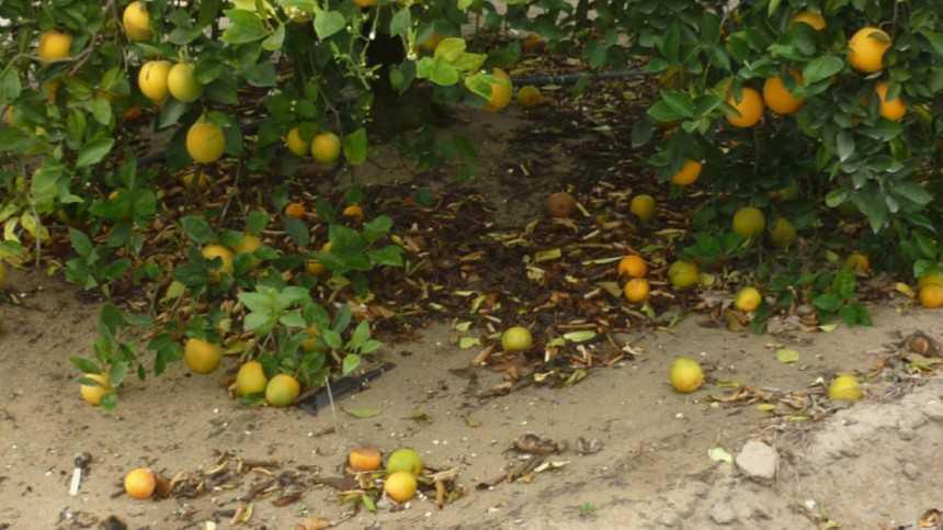 Sour Forecast For 2014-2015 Florida Orange Crop