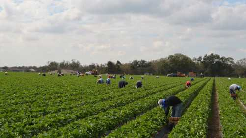 UC-Davis Responds To California Auditor's Recommended Improvements To Strawberry Program