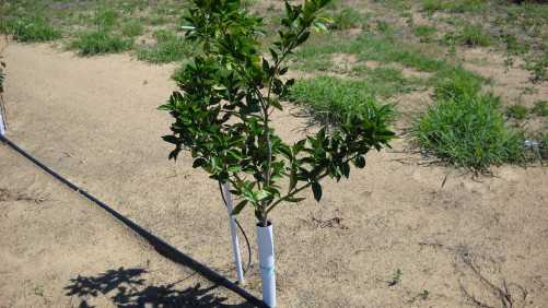 Data Plan Desperately Needed To Track Early Citrus Plantings