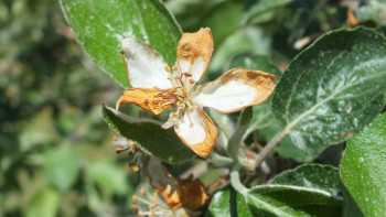 Damaged Honeycrisp Blossom
