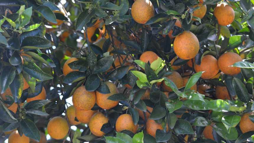 No Change In Florida's Compressed Citrus Count