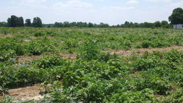 weedy watermelon field