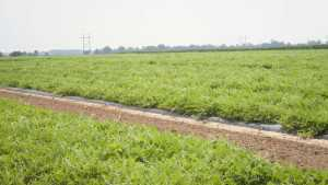 Researchers From Clemson University Offer Tips On Managing Watermelon Diseases