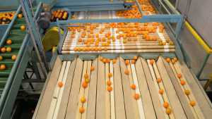 Season's Final Florida Citrus Forecast Falls Flat